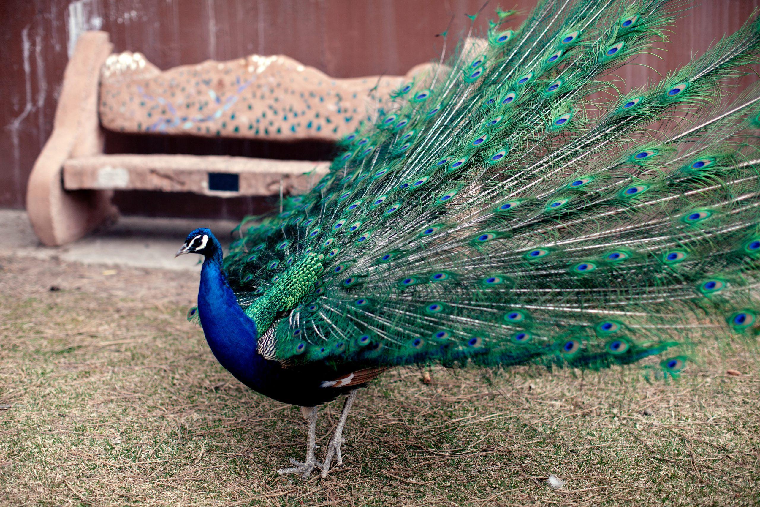 Essay on Peacock in Hindi