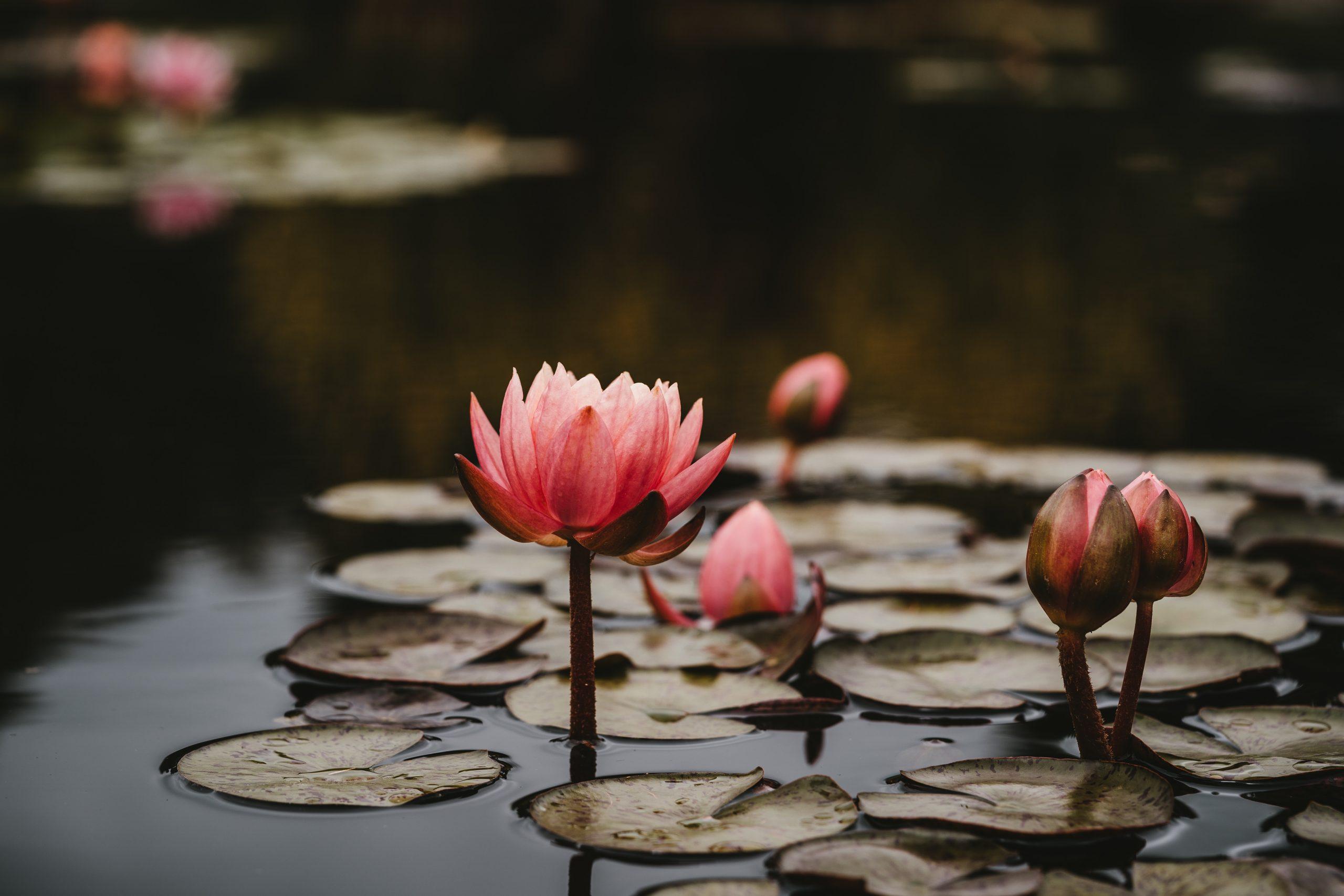 essay-on-lotus
