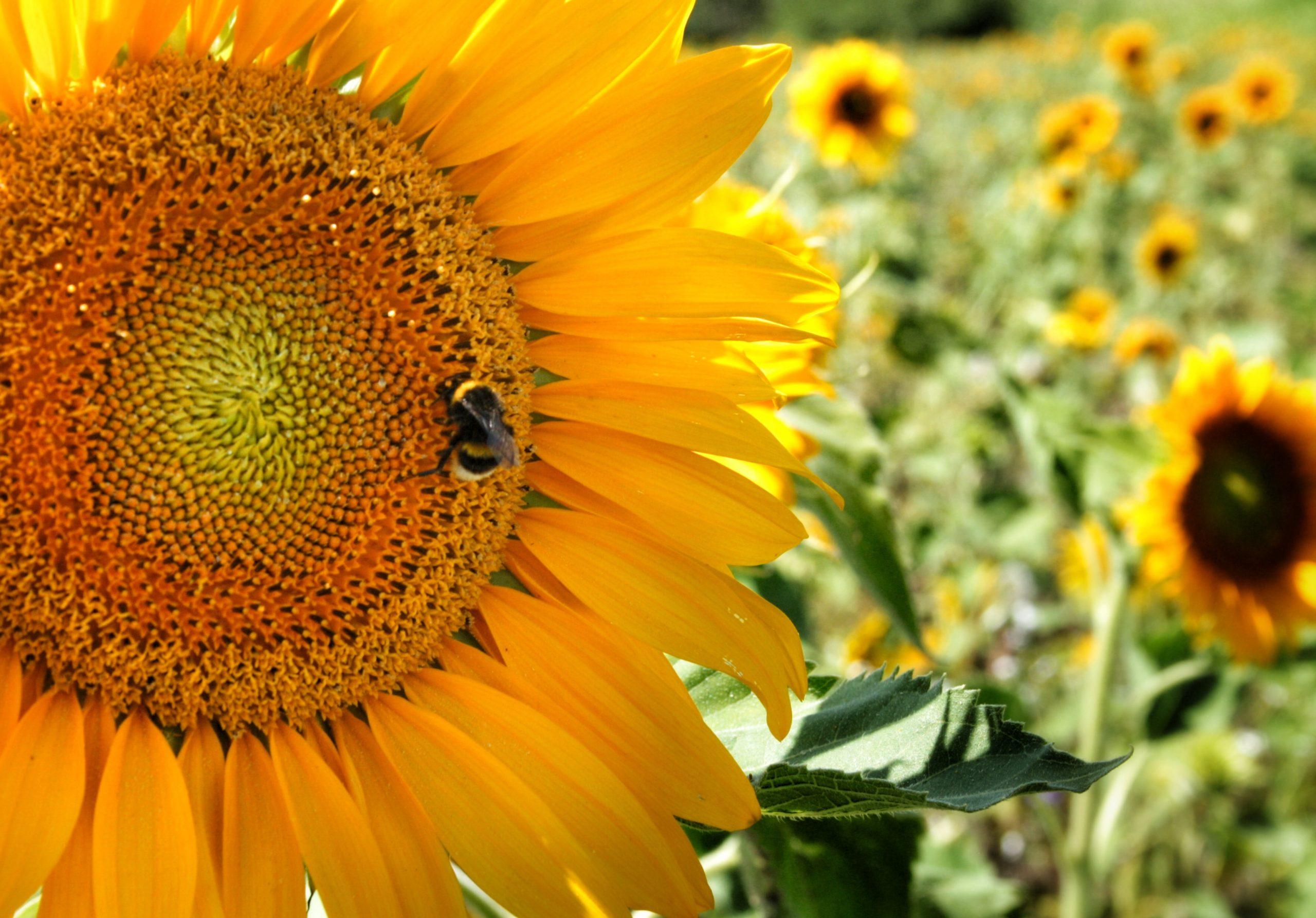 sunflower-flower