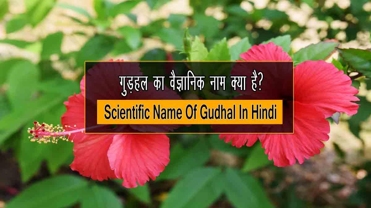 Gudhal ka Vaigyanik Naam